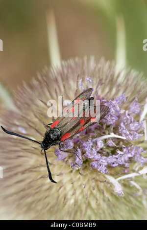 Six-spot burnet (Zygaena filipendulae) moth on teasel