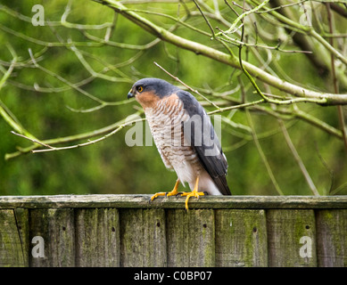 Male Sparrowhawk Looking for Prey Perching on Wooden Fence in a Cheshire Garden in Alsager England United Kingdom - Stock Photo
