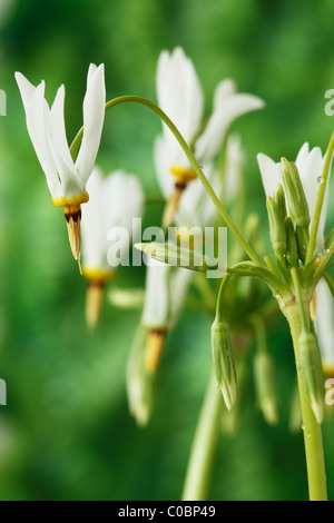Dodecatheon meadia f. album AGM American cowslip, Shooting stars April - Stock Photo