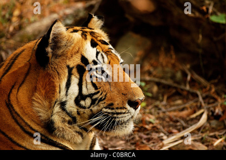 Portrait of an adult male Royal Bengal Tiger (Panthera tigris) in his prime in Bandhavgarh Tiger Reserve, India - Stock Photo