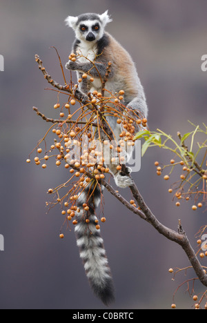 Ring-tailed Lemur feeding on fruit in the Anja Nature Reserve, central Madagascar - Stock Photo