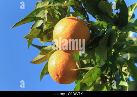 ripe oranges are hanging on a tree under a bright blue sky - Stock Photo