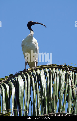 An Ibis (Threskiornis molucca) sitting high in a palm tree, Royal Botanic Gardens, Sydney, Australia - Stock Photo
