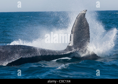 humpback whale, Megaptera novaeangliae, tail slap. Wildcoast, South Africa - Stock Photo