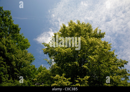 Flowering Linden tree against forest and blue sky - Stock Photo