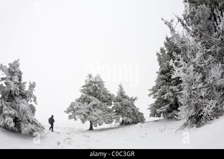 A grove of Norway spruces (Picea abies) snow-covered  (France). Groupe d'épicéas communs (Picea abies) recouverts - Stock Photo