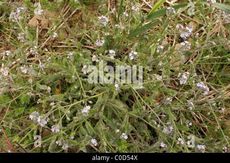Field forget-me-not (Myosotis arvensis : Boraginaceae), in a cornfield, UK. - Stock Photo