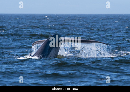 Blue Whale (Balaenoptera Musculus) adult animal fluking. Monterey, California, Pacific Ocean. - Stock Photo