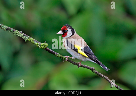 Goldfinch (Carduelis carduelis) perched on twig in garden, UK, Cheshire, July 2009 - Stock Photo