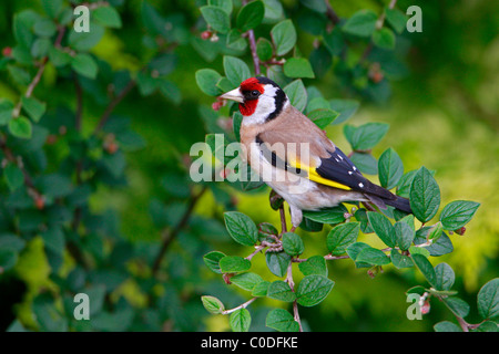 Goldfinch (Carduelis carduelis) perched in garden, Cheshire, UK, June 2009 - Stock Photo