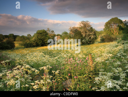 The summer evening light captures many colours of hay meadows, wildflowers, hedgerows and hawthorn in the Peak District - Stock Photo