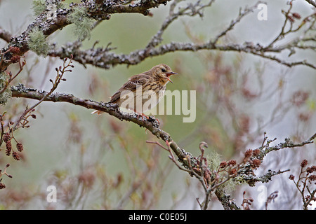 Tree Pipit (Anthus trivialis) singing in tree in woodland on hillside, North Wales, UK, May 2010 8019 - Stock Photo