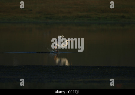 Grey heron fishing in the backwaters of a river near Bangalore, India - Stock Photo