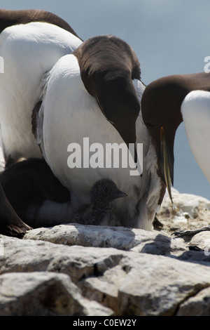 Guillemot (Uria aalge) with fish for chick, (one bridled). - Stock Photo