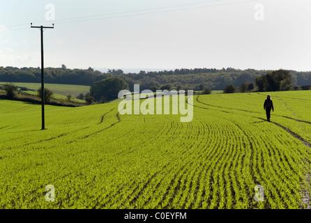 Woman walking on path across field of winter wheat UK - Stock Photo