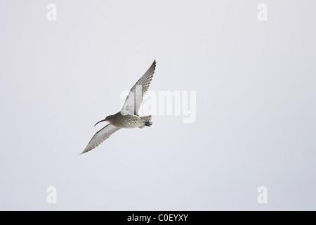 Eurasian Curlew Numenius arquata in flight at Snettisham, Norfolk in December.