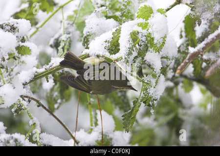 Hume's Leaf Warbler Phylloscopus humei foraging amongst snow-covered vegetation at Wells-next-the-Sea, Norfolk in - Stock Photo