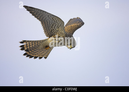 Common Kestrel Falco tinnunculus female hovering at Welney, Norfolk in November. - Stock Photo