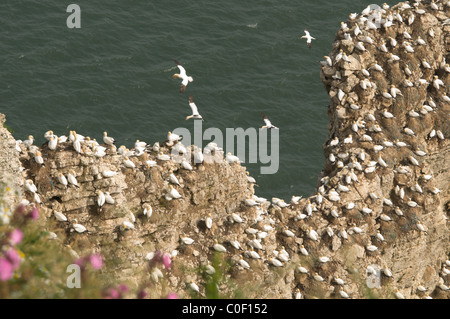 Gannet (Sula bassana) nesting colony on the rocks and cliff face at Bempton Cliffs, Yorkshire, UK. June. - Stock Photo