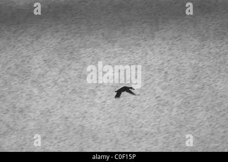 Mallard Anas platyrhynchos flying during snow blizzard at Welney, Norfolk in November. - Stock Photo