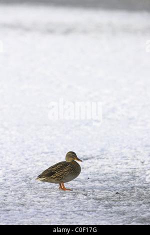 Mallard Anas platyrhynchos female standing on frozen pool at Welney, Norfolk in November. - Stock Photo