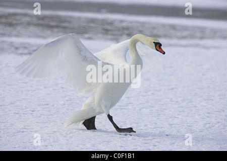 Mute Swan Cygnus olor walking on frozen pool at Welney WWT, Norfolk in November. - Stock Photo