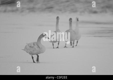 Whooper Swan Cygnus cygnus group in snow blizzard at Welney WWT, Norfolk in November. - Stock Photo