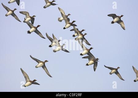 Eurasian Wigeon Anas penelope flock in flight over Welney WWT, Norfolk in December. - Stock Photo