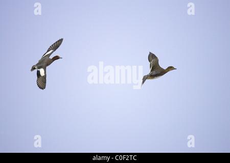 Eurasian Wigeon Anas penelope pair in flight over Welney WWT, Norfolk in December. - Stock Photo