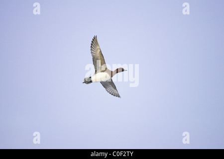 Eurasian Wigeon Anas penelope drake in flight over Welney WWT, Norfolk in December. - Stock Photo