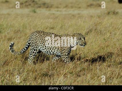 Leopard female (phantera pardus) walking in savannah, Masaï Mara National Reserve, Rift Valley, Kenya - Stock Photo