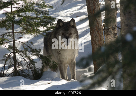 Gray Wolf in snow in British Columbia, Canada - Stock Photo