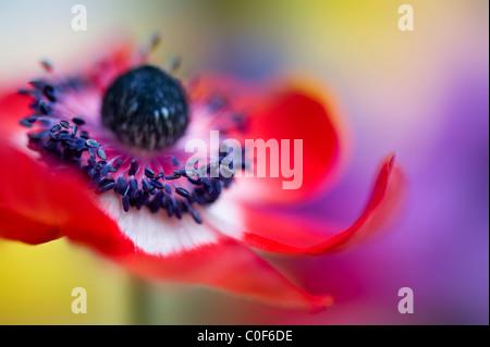 Close-up image of Anemone coronaria 'De Caen' vibrant red flower - Stock Photo