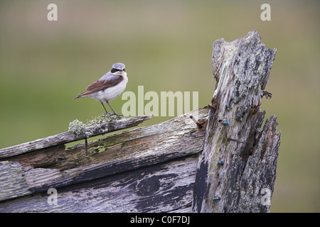 Northern Wheatear Oenanthe oenanthe perched on wooden boat bow at Fetlar, Shetland Isles in June. - Stock Photo