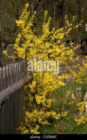 Forsythia x intermedia flowering bush by wooden fence - Stock Photo