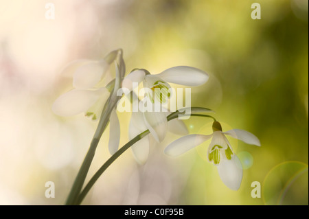 Common Snowdrops - Galanthus nivaliswith sunflre lansflare - Stock Photo