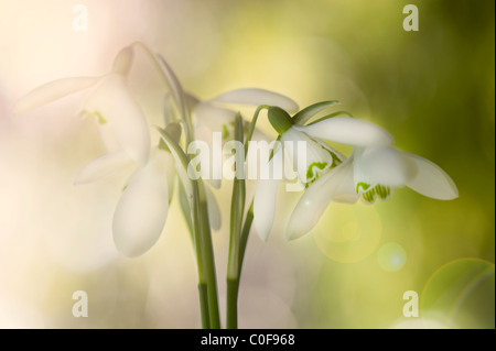 Common Snowdrops - Galanthus nivalis with Lensflare Sunflare - Stock Photo
