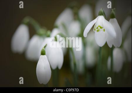 Common Snowdrops - Galanthus nivalis - Stock Photo