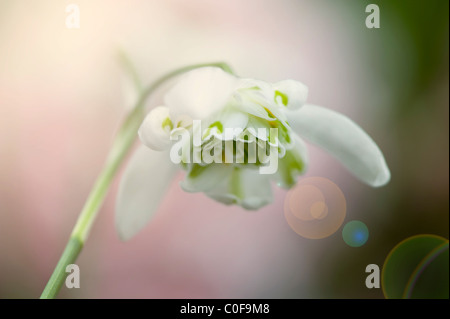 Double flowering Snowdrop - Galanthus nivalis f. pleniflorus 'Flore Pleno' - Stock Photo