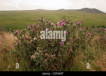 Spear thistle (Cirsium vulgare : Asteraceae), on moorland, UK - Stock Photo