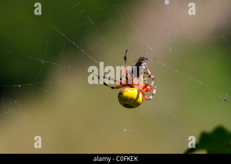 Four-spot orb-weaver (Araneus quadratus) eating a wasp - Stock Photo