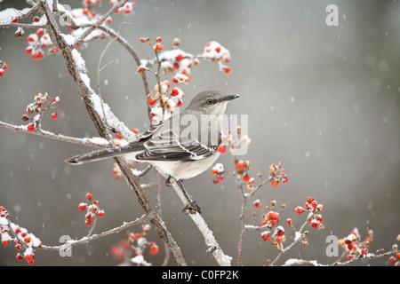 Northern Mockingbird in Bittersweet - Stock Photo