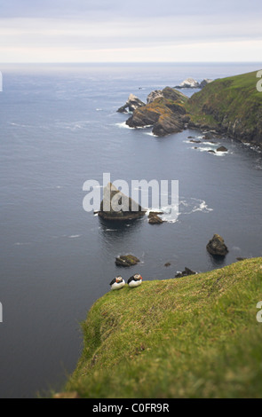Atlantic Puffin Fratercula arctica pair perched on cliff-top at Hermaness, Unst, Shetland Isles in June. - Stock Photo