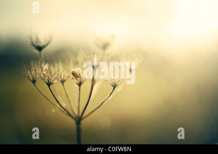 Queen Anne's lace in hazy sunshine - Stock Photo