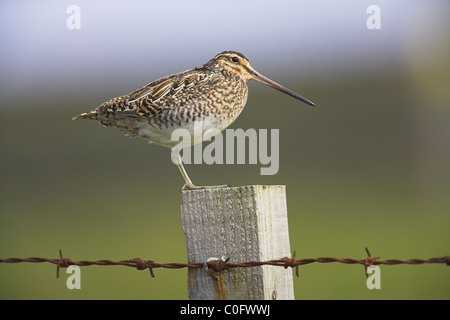 Common Snipe Gallinago gallinago perched on fence post on Fetlar, Shetland Isles in June. - Stock Photo