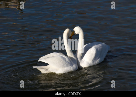 Courting swans - Stock Photo