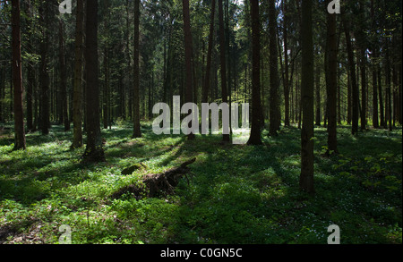 Shady coniferous stand of Bialowieza Forest in spring with floral bed of anemone flowers - Stock Photo