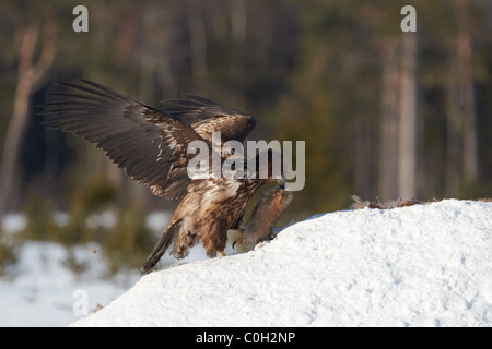 White-Tailed Eagle feeding on Red Fox Carcass. Trying to fly away with tail of the fox. - Stock Photo