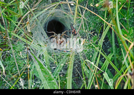 Sheet Web Spider (Agelena labyrinthica), in web - Stock Photo