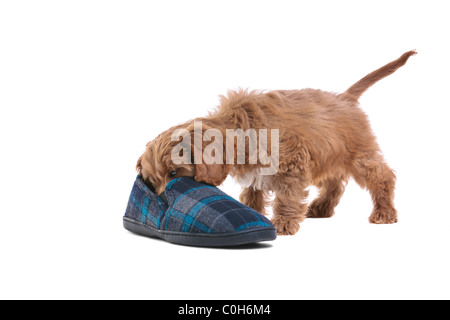 Photo of an 11 week old male red and white Cockapoo puppy - Stock Photo
